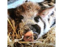 Henry  junior Kune Boar